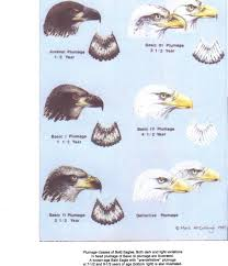 Bald Eagle Age Chart Here Is A Chart To Identify Eagle Ages From The Wilson