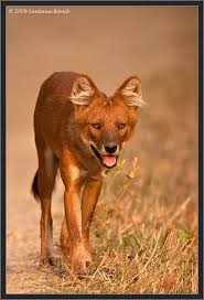 Small Picture Indian Wild Dog known as Dhole LikeRepinShare Thanks