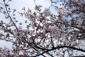 Bunga Sakura 8 Lokasi Terbaik Untuk Menikmati Indahnya Bunga Sakura Di