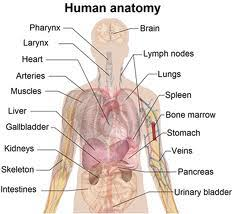 human anatomy research paper topics for college courses in anatomy human anatomy