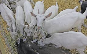 Keeping Goats For Milk A Beginners Guide