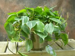 Climber Plants Are The Right Choice If You Want To Bring The Climbing Plants Indoor