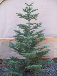 Types Of Cut Christmas Trees  Jim Jenkins Lawn U0026 Garden CenterTypes Of Fir Christmas Trees