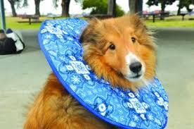 stop dog from licking wound. Modren Dog SoftECollar With Stop Dog From Licking Wound S
