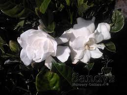 com sandys nursery gardenia august beauty 4 inch pot garden outdoor
