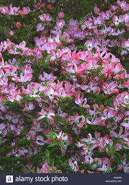 The 11 Best Flowering Shrubs For Early SpringShrub With Pink Flowers