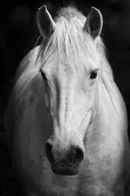 white horses. Perfect Horses White Horseu0027S Black And Art Portrait In Horses T