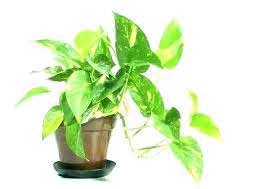 low light indoor plants safe for cats large house plants tall indoor low light plant easy low light indoor plants safe for cats