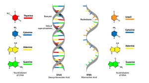 Functions Of Nucleic Acids Dna Vs Rna 5 Key Differences And Comparison Technology