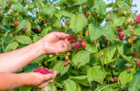 season al hands picking raspberry fruits harvest in autumn season seasonal