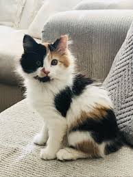fluffy baby calico kittens. Wonderful Calico My Fluffy Adorable Slightly Psycho Calico Baby Inside Fluffy Baby Kittens L