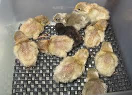 Chick Color Identification Button Quail