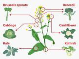 another broccoli chicken  brassica oleracea  gallus domesticus