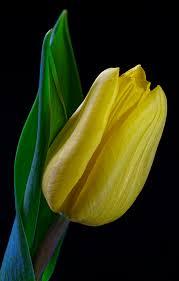 images tulip yellow flower closeup