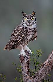 great horned owl house plans awesome great horned owl january 21 2016 starr county texas tringa