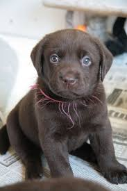 85 best Brown Labradors images on Pinterest