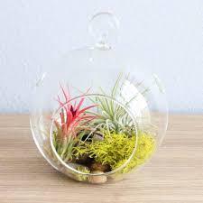 wholesale terrarium sets each terrarium includes glass globe 2 air plants  stones u0026