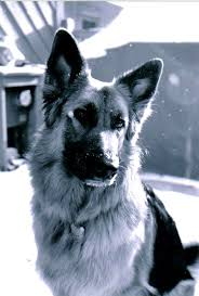 black and white german shepherd photography. Unique White Dog German Black And White Photo Of Shepherd  Pictures For Photography O