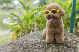 Toy Poodle Feeding Chart Best Food For Toy Poodles Poodle Dog Breed Information