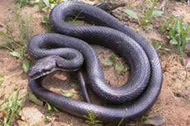 Louisiana Snakes Chart Rat Snake Facts Live Science