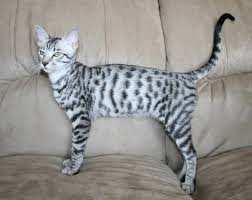 silver spotted tabby savannah