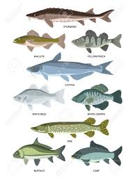 Freshwater Fish Identification Chart Vector Collection Of Different Kinds Of Freshwater Fish