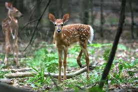 Fawn Age Chart Whitetail Deer Fawns