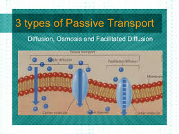3 Types Of Passive Transport Passive And Active Transport