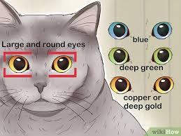 British Shorthair Weight Chart Kg 3 Ways To Identify A British Shorthair Cat Wikihow