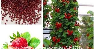 300Pcs Giant Red Climbing Strawberry Seeds, Garden Fruit Plant ...