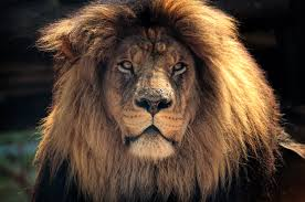 hd wallpaper background image id 875575 3865x2567 lion