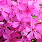Цветы с розовыми цветами 3