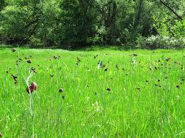 Характеристика лугового сообщества Окружающий мир  цветет рябчик русский