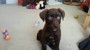 chocolate lab with blue eyes. Zanax The Chocolate Labrador With Blue Eyes Week Old First Training Sessions YouTube For Lab