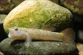 rhinogobius flumineus swim on the beds of rivers