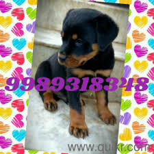 high quality rottweiler punch face puppies for
