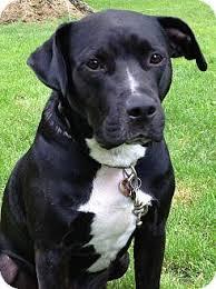 american bulldog lab mix. Fine American Bulldog Lab Mix  Black American Pitbull Mix  Puppies And