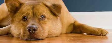 3 reasons vinyl flooring is the best option pet owners