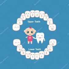 Baby Teething Chart Stock Vector Ninamunha 104241436
