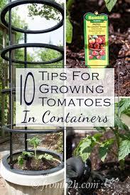 container gardening tomatoes. Exellent Container 10 Tips For Growing Tomatoes In Containers  Gardening Home Garden Garden  Hacks Tips And Tricks Growing Plants Gardening DIYs Crafts  Inside Container Gardening A