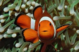 different colored clown fish. Contemporary Clown Clownfish  Invasive Species On Different Colored Clown Fish N