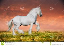 black horse rearing in sunset. Simple Horse A Grey Arabian Horse Rearing With Black Horse Rearing In Sunset T