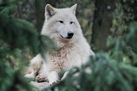 Hd wallpapers and background images. Wolf Wallpapers Free Hd Download 500 Hq Unsplash