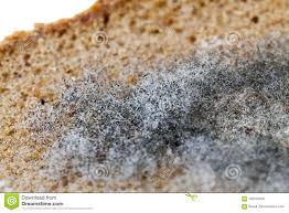 Mouldy Rye Bread Stock Photo Image Of Inedible Decomposed 102445426