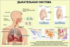 Дыхательная и кровеносная системы человека  Дыхательная система человека
