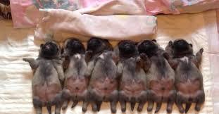 newborn baby pugs.  Newborn Sleepy Newborn Pugs Go To Bed Now Watch The Puppy On Far Left With Baby R