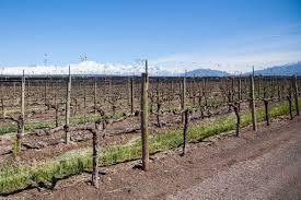 Winter How To Tips For Pruning Grapevines Modern Farmer
