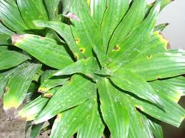 Q A  Leaf Spots on Dracaena   HGTV furthermore Dracaena  corn plant  leaves edge brown spots additionally  additionally Brown Leaf Spots on Dracaena furthermore Brown Leaf Spots on Dracaena besides What are the Brown Spots on Leaves of Plant   HousePlant411 further  moreover Sudden Dracaena issue further How to Grow Dracaena Fragrans Corn Plants in addition  likewise . on brown spots on dracaena plant houseplant diseases