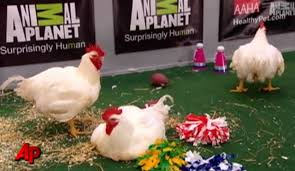 puppy bowl hedgehog cheerleaders. Delighful Bowl In Prior Years Theyu0027ve Had Birds As Twitter Correspondents A Halftime  Show Of Kittens Playing Cheerleaders That Were Chickens Hedgehogs  For Puppy Bowl Hedgehog Cheerleaders