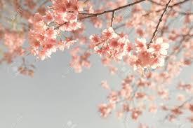 Vintage Cherry Blossom Sakura Flower Nature Background